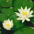 Facts About Lily Pads