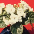 How to Transplant African Violets