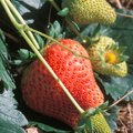 How to Keep Ants Off Strawberries