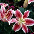 When Do Stargazer Lilies Bloom & How Long Do They Stay in Bloom?