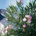 How to Transplant an Oleander