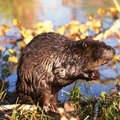 How to Get Rid of Nuisance Beavers