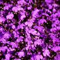 How to Care for Hanging Lobelia