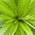 How to Clone an Aloe Vera Plant