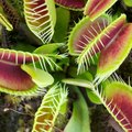 How To Grow And Care For A Venus Flytrap