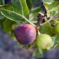 Ideal Fruit Trees for Alabama