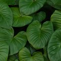 Are Elephant Ear Plants Perennial?