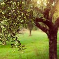 How To Care For Olive Trees