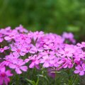My Verbena Is Dying