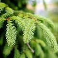 What Are Spruce Trees Used for?
