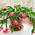 How to Care for Christmas Cactus Plants