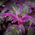 How to Grow a Purple Passion Plant