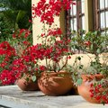 How to Care for Bougainvillea