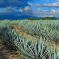 How to Transplant Agave Plants