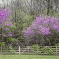 Redbud Tree Diseases