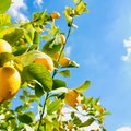 How to Grow and Care for Lemon Trees