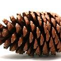 What Do Pine Tree Seeds Look Like?
