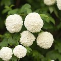How to Care for Snowball Bushes
