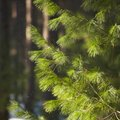 How to Stop a Pine Tree From Getting Tall