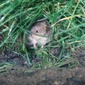 How to Get Rid of Voles in Your House