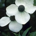 How to Tell the Difference Between a Dogwood & a Bradford Pear