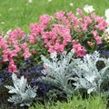 What Flower Can I Plant With Snapdragons?