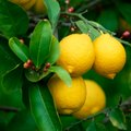 How Long Does It Take for Lemons to Ripen on a Lemon Tree?