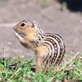 How to Kill Striped Gophers