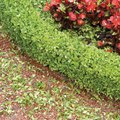 Do Boxwood Shrubs Have Big Roots?
