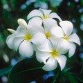 The Best Fertilizer for Plumerias
