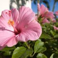 How to Kill Aphids Off a Hibiscus Tree Naturally