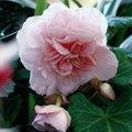 When Do Begonias Come in Season?