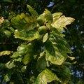 How to Get Rid of Baby Oak Trees Saplings