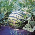 When to Plant Watermelon in Tennessee