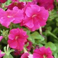 Can Petunias Be Planted With Marigolds?
