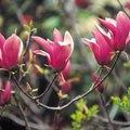 Dwarf Magnolia Varieties