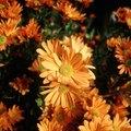 Chrysanthemum Companion Planting