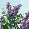 Problems With Wilting Lilacs When Growing