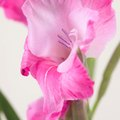 Do You Have to Dig Up Gladiolus in Fall?