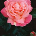 When to Plant Rose Bushes in Zone 8