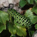 How to Know If a Caterpillar in a Cocoon Is Dead