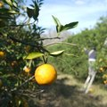 How To Help an Orange Tree Produce Sweet Oranges