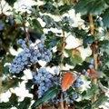 How to Kill an Oregon Grape