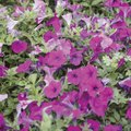 Homemade Pest Control for Petunias
