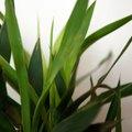 How to Cut Back a Dracaena Corn Plant