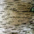 How to Dry Birch Wood