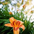 How Tall Do Lilies Grow?
