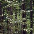 Dogwood Trees in Florida