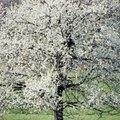 Trees Similar to Dogwood Trees