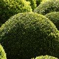How to Trim a Round Bush